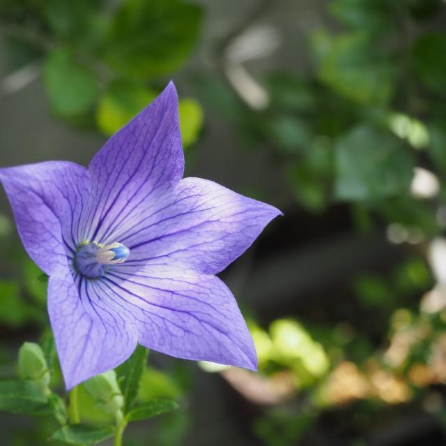 桔梗(ききょう)の花