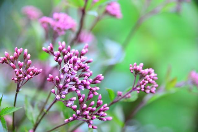 藤袴(ふじばかま)の花