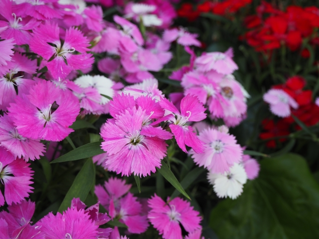 撫子(なでしこ)の花