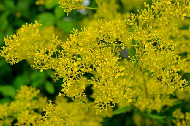 女郎花(おみなえし)の花