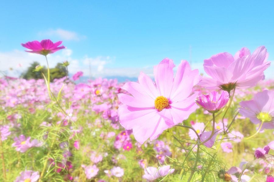 ピンク色のコスモス写真